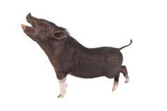 Schwein-Profil-Mund offen Lizenzfreies Stockfoto