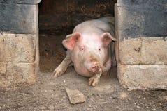 Schwein in seinem Pigsty Stockbild