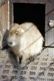 Schwein sitzt in der Sonne Lizenzfreies Stockbild