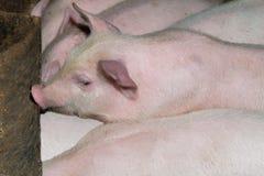 Schwein sucht nach Lebensmittel stockfotos