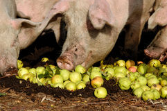 Schwein und die Äpfel Stockbilder