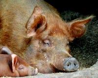 Schwein und Ferkel Lizenzfreie Stockbilder
