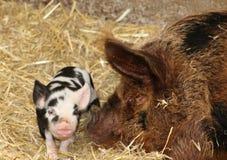 Schwein und Ferkel Kunekune, einzigartig nach Neuseeland Stockfotos