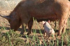 Schwein und Schätzchen Lizenzfreie Stockbilder
