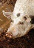 Schwein und Schlamm Stockbild