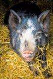 Schwein und Stroh am Bauernhof Stockfotos