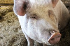 Schwein vorangegangen Stockfoto