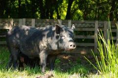 Schwein wenig Schwarzes 3 Lizenzfreie Stockbilder