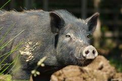 Schwein wenig schwarzes Porträt 2 Lizenzfreie Stockfotografie