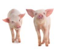 Schwein zwei Stockfoto