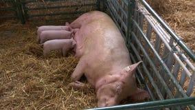 Schweinbauernhof und Ferkel stock video footage