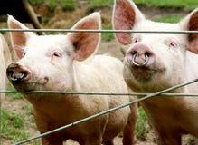 Schweine Stockfotos