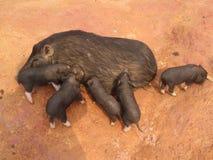 schweine stockbilder
