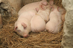 Schweine Stockfoto