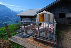Schweine auf alpiner Hütte, Adelboden, die Schweiz Lizenzfreie Stockbilder