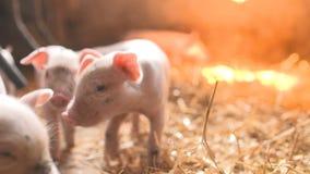 Schweine auf Bauernhof mit Viehhaltung Schweinehaltung stock footage