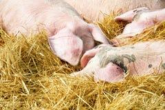 Schweine auf dem Stroh Stockfotos
