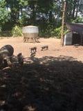 Schweine auf einem Bauernhof Lizenzfreie Stockfotos