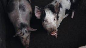 Schweine auf einem Bauernhof stock video