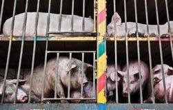 Schweine auf einem LKW Lizenzfreie Stockbilder