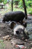 Schweine auf Nusa Penida Stockbild