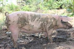Schweine bleiben befestigen Snoeng rein lizenzfreie stockbilder