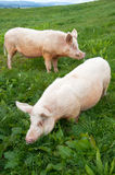 Schweine in der Koppel Stockfoto