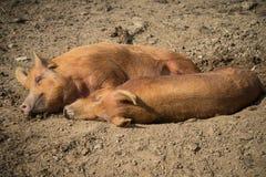 Schweine, die auf Bauernhof legen Stockfotos