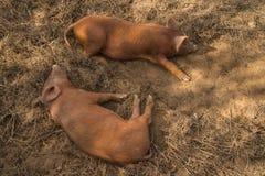 Schweine, die auf Bauernhof legen Stockfotografie
