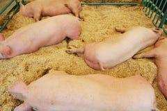 Schweine, die auf Sägespänen stillstehen lizenzfreie stockfotografie