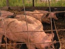 Schweine, die das Mittagessen essen Stockfotografie
