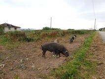 Schweine, die in einem Bauernhof essen Stockbild
