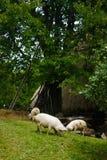 Schweine, die hoch in den Bergen weiden lassen lizenzfreie stockbilder