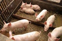 Schweine in einem Bauernhof Stockfotografie