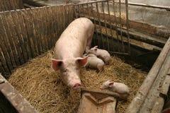 Schweine in einem Bauernhof Lizenzfreie Stockfotografie