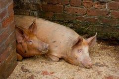 Schweine in einem Pigsty Stockfotos