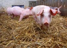 Schweine in einem Stall Lizenzfreie Stockbilder