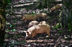 Schweine in einem Wald Stockfotografie