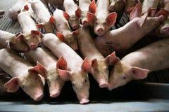Schweine an einer Fabrik Stockfoto