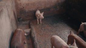 Schweine im Bauernhof stock video footage
