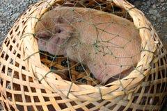 Schweine im runden Bambuskorb Stockfotos