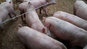 Schweine organisch Lizenzfreie Stockfotos