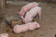 Schweine sind zusammengebrachter Lebensmittelstall in der Gestalt aus Holz heraus Lizenzfreie Stockfotos