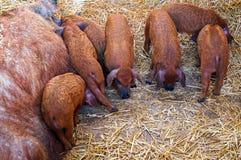 Schweine und Ferkel Mangalica Lizenzfreie Stockfotografie