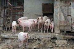 Schweine und Schweine in einem Bauernhof Lizenzfreie Stockfotos