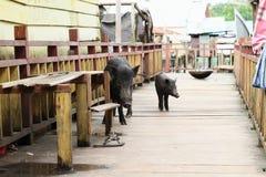 Schweine unter Häusern Stockfotos