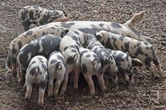 Schweine, welche die Milch in den Säuen saugen Stockbild