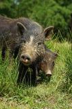 Schweine wenig Schwarzes 2 Lizenzfreie Stockfotografie