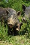 Schweine wenig Schwarzes Lizenzfreie Stockfotografie