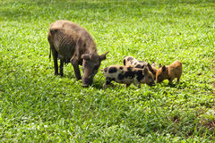Schweinefleischrippen Stockfoto